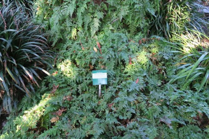 Cupressacee/Taxodiaceae